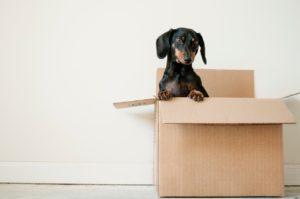 Un petit chien sort sa tête d'un carton de déménagement.